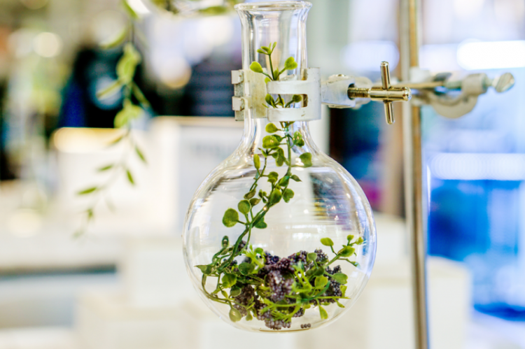 Uszkodzenie miąższu wątroby, ogniskowe zwłóknienia, aż wreszcie prowadzi do wystąpienia marskości wątroby - to tylko niektóre z długiej listy toksyczynych działań roślin, stosowanych dawniej w medycynie (fot. Shutterstock)