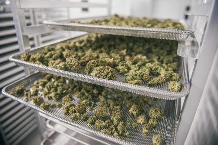 Pierwszym surowcem, z którego farmaceuci będą wykonywać leki recepturowe jest susz (fot. materiały prasowe)